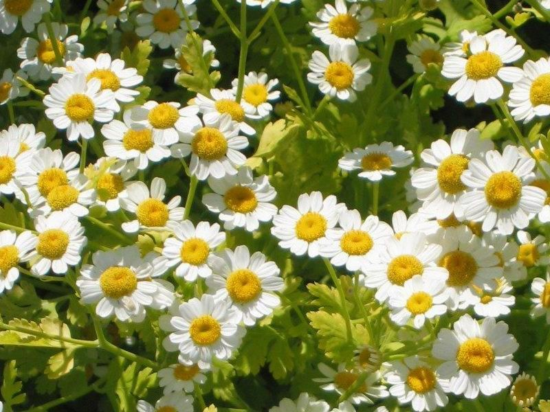 Front bed bushy perennial that has become naturalized in much of north america it has fragrant ferny foliage and composite white flowers with yellow centers mightylinksfo
