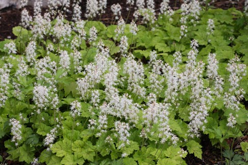 Long Slender Stamens Give Heart Leaf Foamflower S Spikes Of White Flowers A Frothy Earance The Small Star Shaped Occur In Compact Racemes On