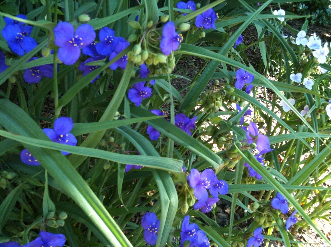 Bed i this species of spiderwort is a clump forming herbaceous perennial which grows up to 3 tall violet blue to purple three petaled flowers 75 15 mightylinksfo Image collections