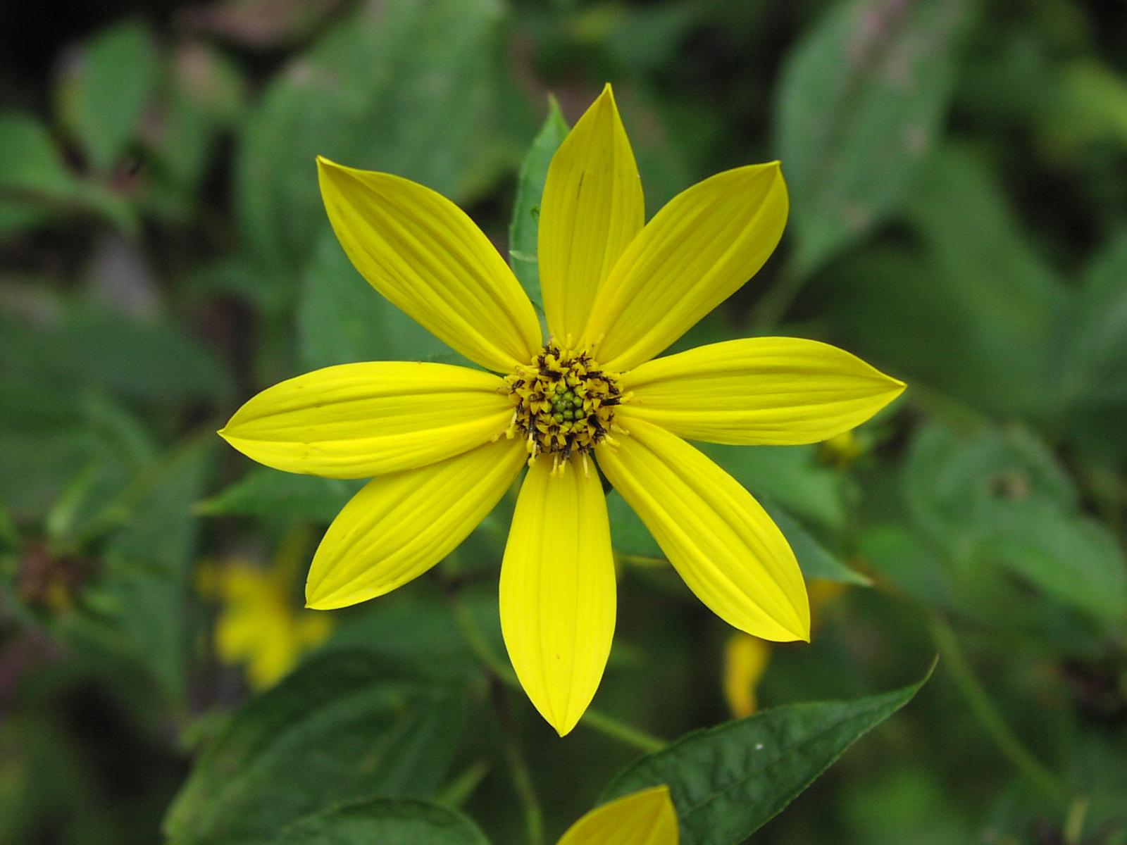 Bed e helianthus divaricata common name woodland sunflower izmirmasajfo